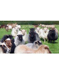 Icelandic Wool / Yarn - Singles 1 ply