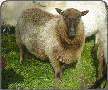 Shetland sheep breeders