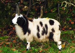 Jacob sheep Wool / Yarn