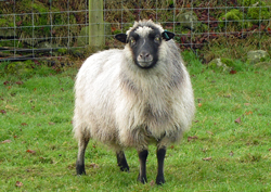 Shetland Wool / Yarn