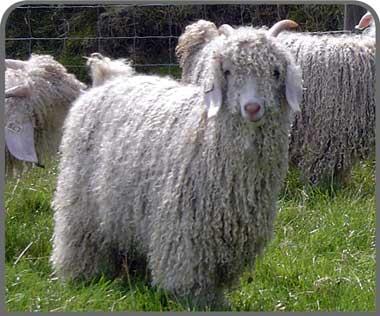 Angora goat breeders