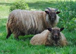 Icelandic Wool / Yarn