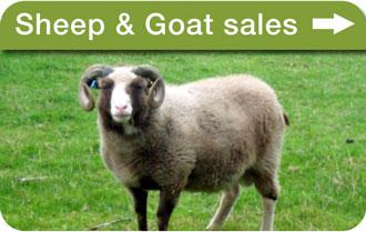 Sheep & goat sales