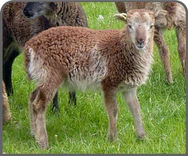 Soay sheep breeders