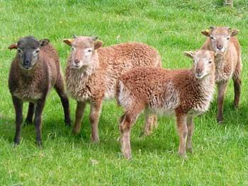 Soay sheep